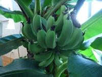 バナナの実