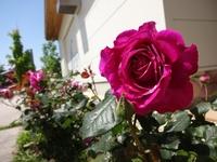 たくさんのバラが開花
