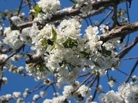 アメリカンチェリーの花芽