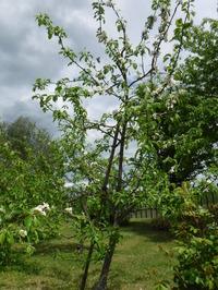 満開のりんごの花