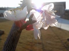 春の訪れ・アンズの花が咲きました