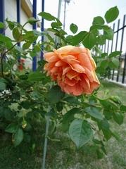 次々とバラたちが開花し始めました!!!