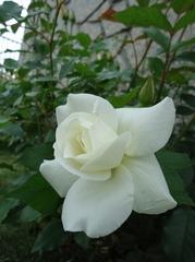 純白のバラ、開花!!
