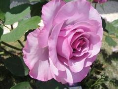 煌びやかなフランスのバラ