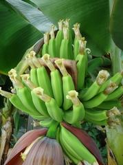 ついにバナナの実がなりました
