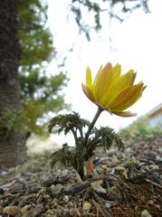 今年も福寿草が咲きました!!!