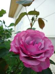 今年一番先に咲いたバラ