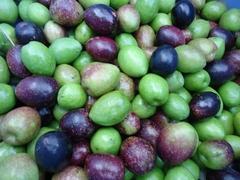 オリーブの大収穫祭