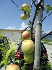 大里ラボラトリーガーデンのリンゴ