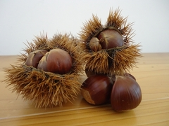 秋の代名詞、栗の収穫