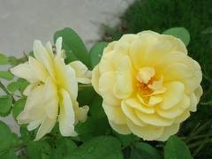 バラがきれいに飾ってくれました2