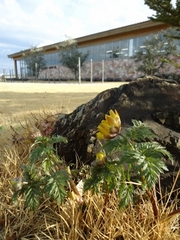 福寿草が咲きました