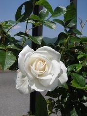 咲き始めたバラたち