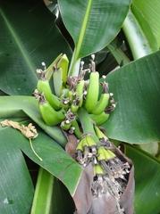 温室の果実が成長中