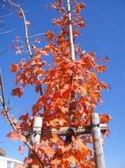 美しいメープルの紅葉