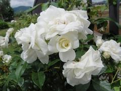 バラが見頃の大里ラボラトリーガーデン