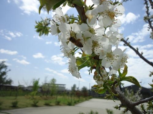 cherry_150416_3.JPG