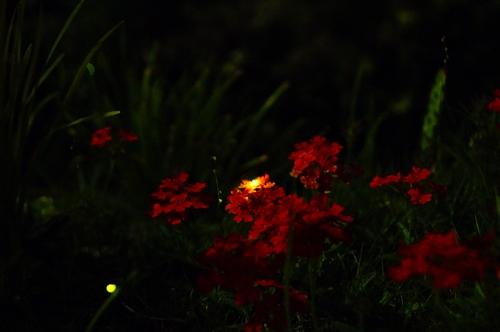 20180524_firefly_3.JPG
